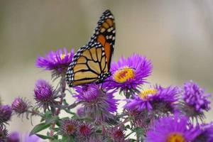 Monarch on Aster ALMS.jpg