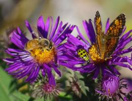 Honey bee, spotted cucumber beetle and pearl crescent butterfly on aster.jpg